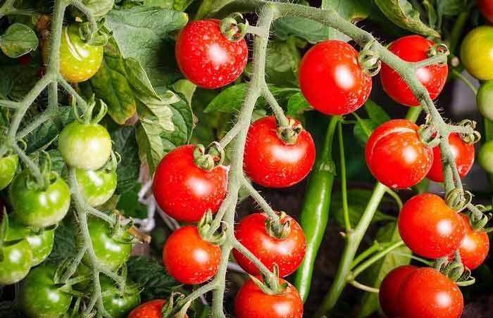 Tomaten-Indoor